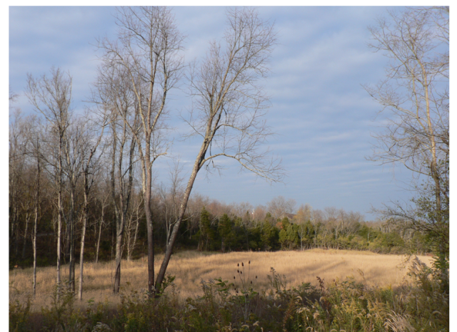 The old landfill site at Raven Run is now covered with native trees and grasses that will help remove pollutants from the soil in a process called phytoremediation. Credit: Virginia Lewis
